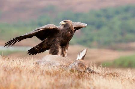 golden eagle: Golden Eagle mit Beute Lizenzfreie Bilder