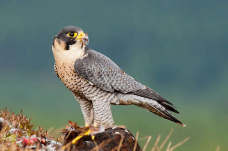 prey: Peregrine Falcon with prey
