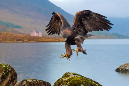 birdlife: Golden Eagle landing Stock Photo