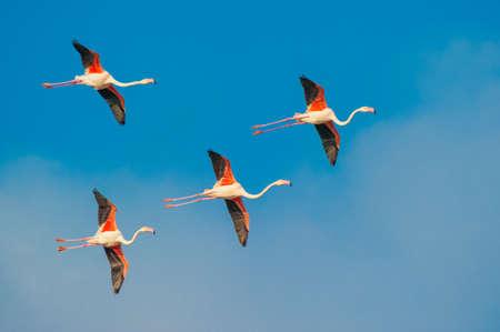 Flamingos, Camargue, France