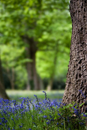 Bluebells and Oak Trees in spring photo