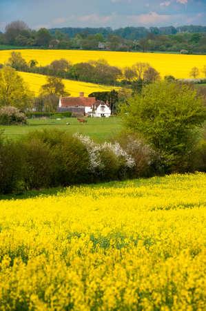 Colza paysage, Manuden, Essex, Angleterre Banque d'images - 24921892