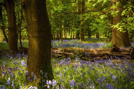 Bluebell Woods Banque d'images - 24921898