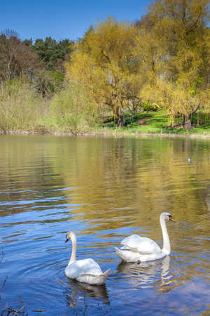 Swans,Pitsford Reservoir, Northamptonshire, England Standard-Bild