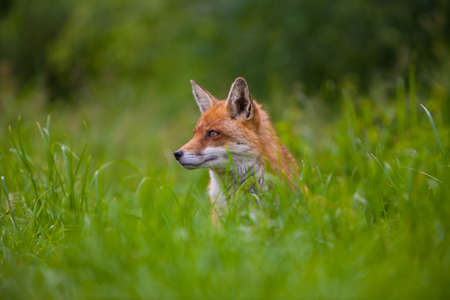 Red Fox sitting in long grass looking alert