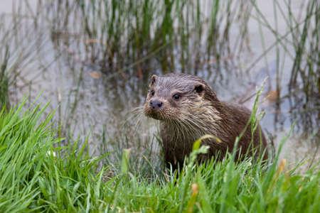 River Otter  Standard-Bild - 24945879