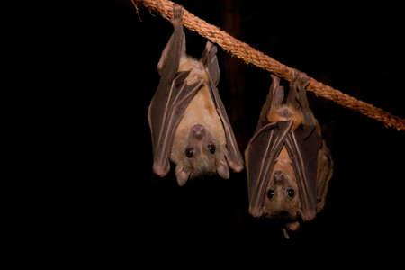 roost: Egyptian Fruit Bats