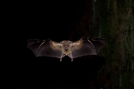 Gyptienne Fruit Bat Banque d'images - 24924691