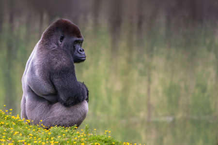 silverback: Lowland Silverback Gorilla Stock Photo