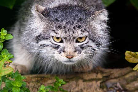 pallas: Pallas Cat, also called Manul
