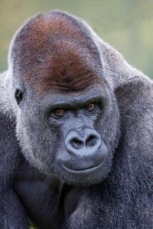 lowland: Lowland Silverback Gorilla Stock Photo