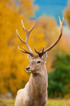 rutting: Red Deer Stag during rutting season