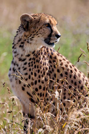 Cheetah sitting and watching photo