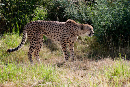 Cheetah stalking photo
