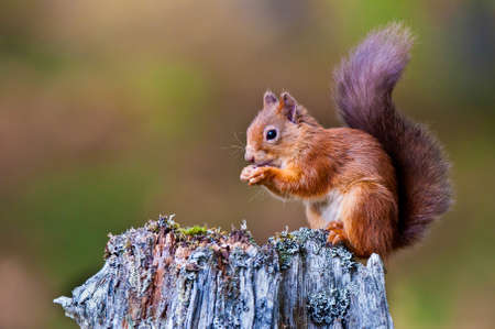 Red Squirrel alimentation Banque d'images - 24945862
