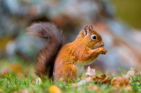 red squirrel: Red Squirrel feeding Stock Photo