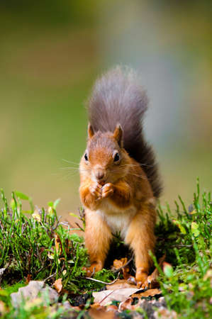 david brown: Red Squirrel feeding Stock Photo