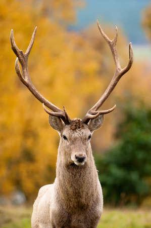 elaphus: Red Deer Stag during rutting season