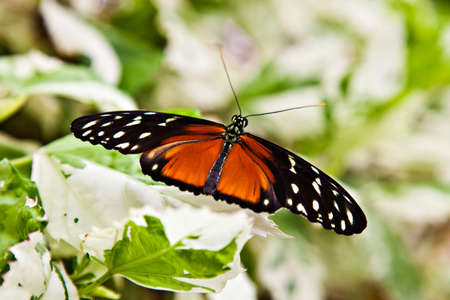longwing: Hecales Longwing Stock Photo