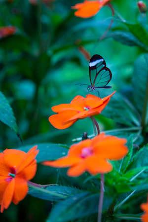 Papillon Glasswing Banque d'images - 25006184