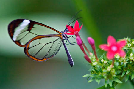 Glasswing Schmetterling Standard-Bild - 25006195