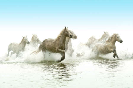 white horses: Camargue Horses running through water