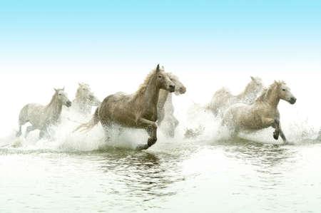 Camargue Pferde durch Wasser Standard-Bild - 25026179