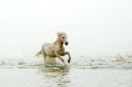 Camargue Horses running through water