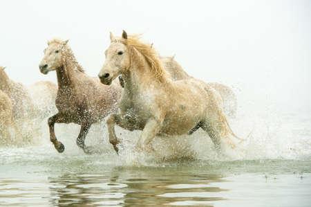 Camargue Pferde durch Wasser Standard-Bild - 25026181