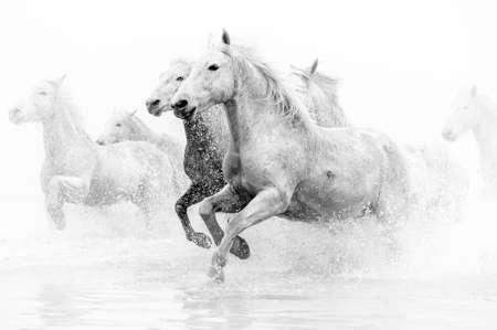 Camargue paarden die door water
