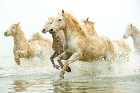 running horse: Camargue Horses running through water