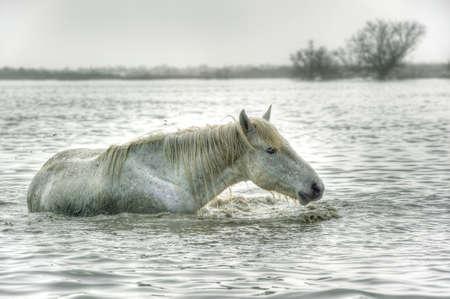 Camargue-Pferd Standard-Bild - 25026185