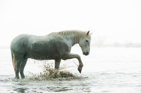 Camargue-Pferd paddeln Standard-Bild - 25109880
