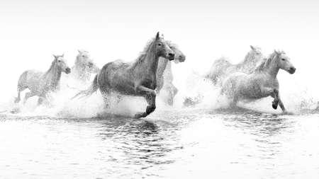 Chevaux de Camargue qui traverse l'eau Banque d'images - 25022540