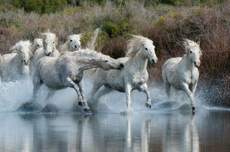 agility people: Camargue Horses running through water