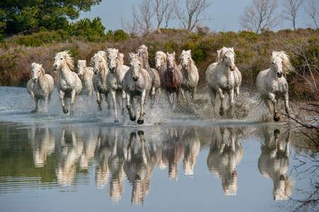 Chevaux de Camargue qui traverse l'eau Banque d'images - 25022636