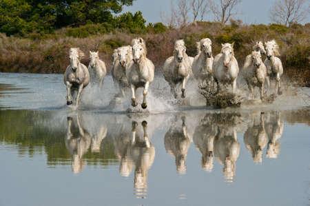 camargue: Camargue Horses running through water