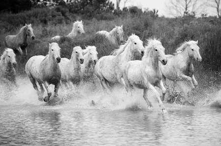 Camargue Horses Reklamní fotografie
