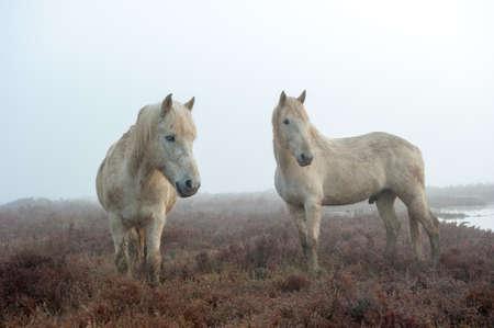 Camargue Horses Standard-Bild