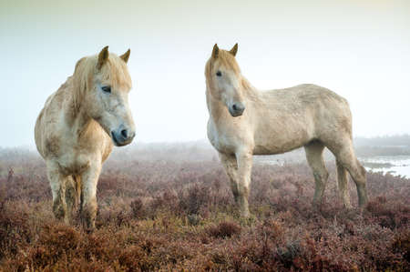 Camargue Pferde Standard-Bild - 25098313