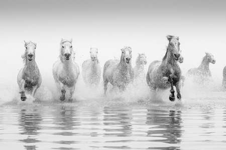 Camargue Pferde Standard-Bild - 25109889