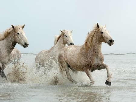 Camargue Pferde Standard-Bild - 25109890
