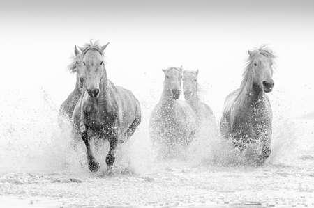 white horses: Camargue Horses Stock Photo