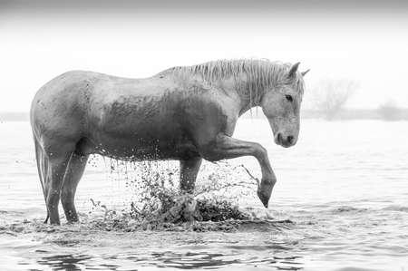 Camargue Pferde Standard-Bild - 25109892