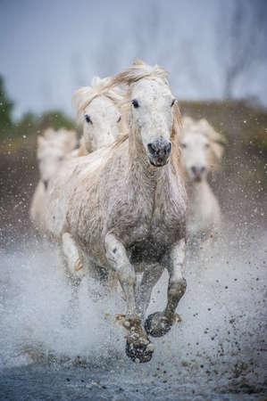 Camargue Pferde Standard-Bild - 25109895