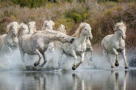 Camargue Pferde Standard-Bild - 25109897
