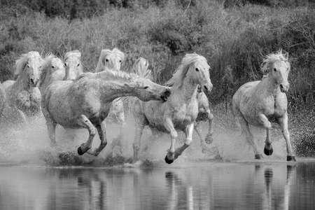 Camargue Pferde Standard-Bild - 25109898