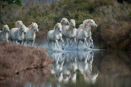 Camargue Pferde Standard-Bild - 25109900