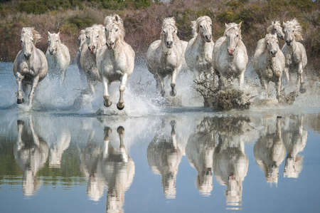 herd: Camargue Horses Stock Photo