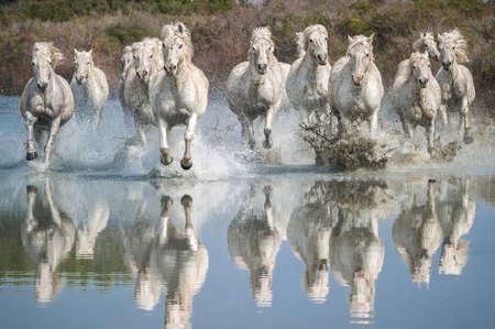 Camargue Pferde Standard-Bild - 25109902
